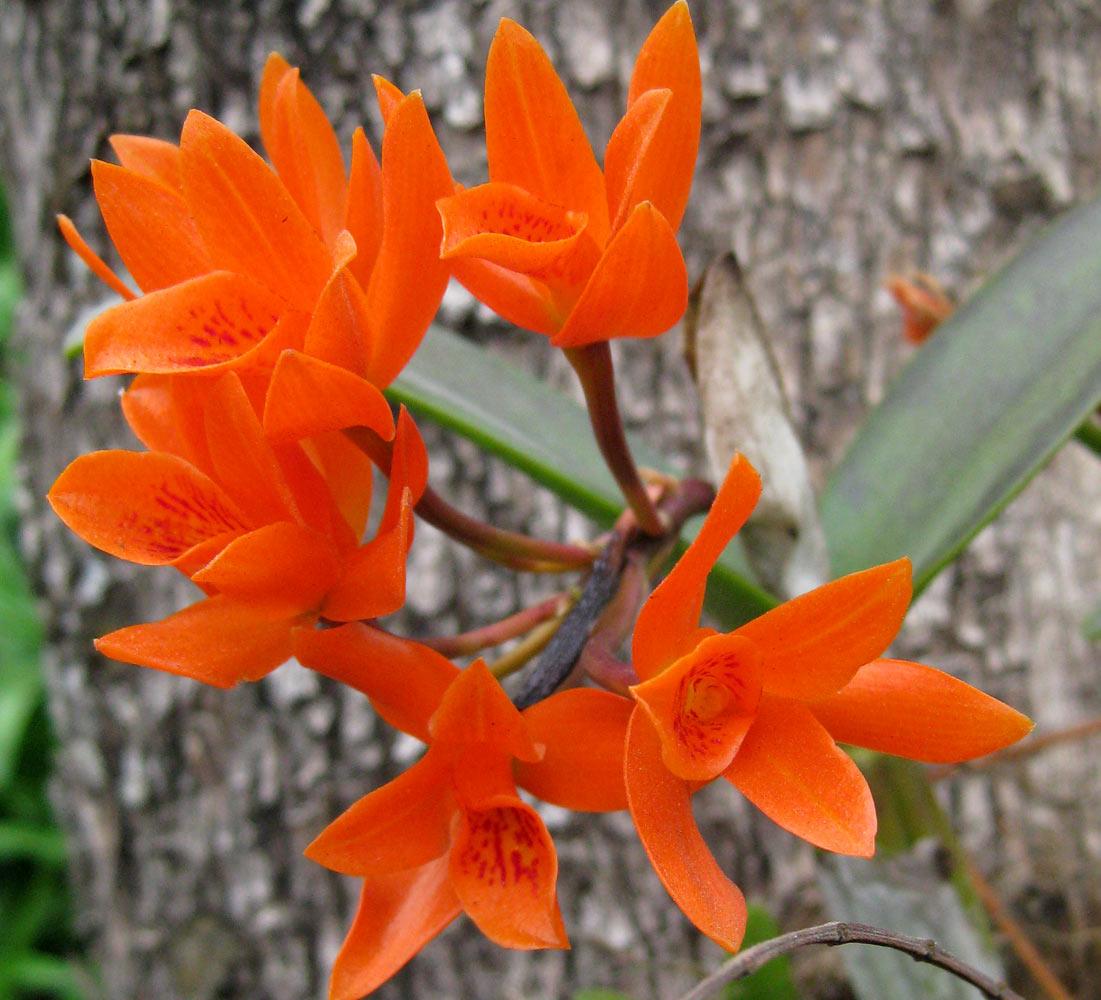 Cattleya aurantiaca.jpg