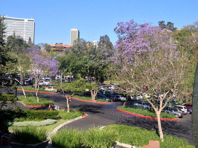 Las jacarandas de la UFM desde la Plaza de la libertad.