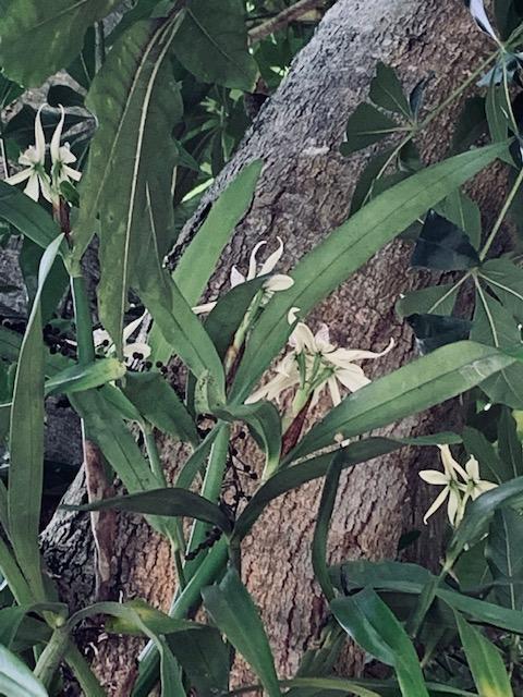 anachellium-baculus-ufm